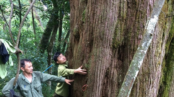 Population of ancient 'po mu' trees found in Ha Tinh