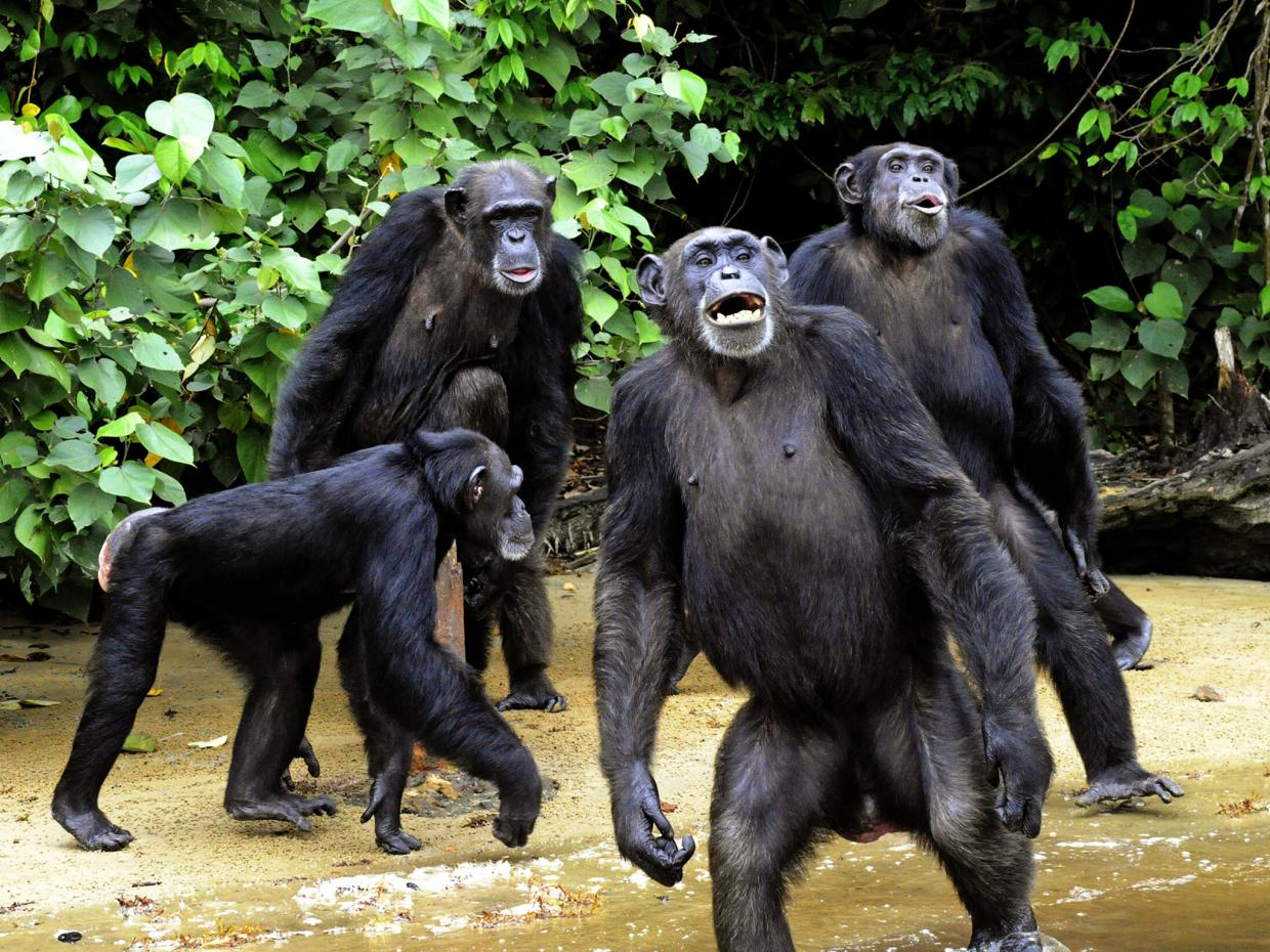 Chimpanzees have much cleaner beds than humans do, scientists find